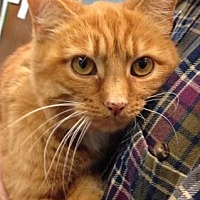 Domestic Shorthair/Domestic Shorthair Mix Cat for adoption in Anderson, Indiana - Novalie