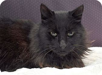 Domestic Longhair Cat for adoption in Lincoln, California - Clyde