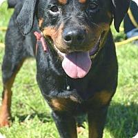 Adopt A Pet :: Maya🌷ADOPTED! - Saratoga Springs, NY