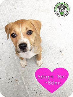 Pit Bull Terrier Mix Puppy for adoption in Kingwood, Texas - Eden