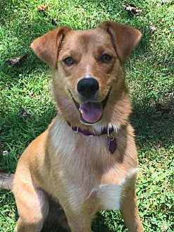 Shepherd (Unknown Type)/Golden Retriever Mix Dog for adoption in Glen Burnie, Maryland - Cassidy