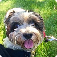 Lhasa Apso/Shih Tzu Mix Dog for adoption in Munster, Indiana - Bebe