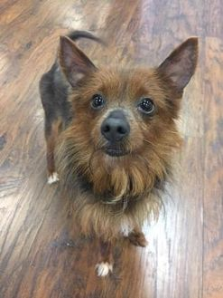 Yorkie, Yorkshire Terrier Mix Dog for adoption in Colmar, Pennsylvania - Farrah