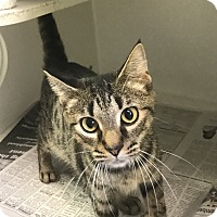 Domestic Shorthair Cat for adoption in Newport, North Carolina - Miss Daisy (Petsmart New Bern)