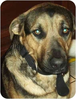 Shepherd (Unknown Type) Mix Dog for adoption in Coudersport, Pennsylvania - ZEB
