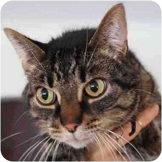 Domestic Shorthair Cat for adoption in Toledo, Ohio - Niles