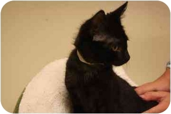 Domestic Shorthair Kitten for adoption in North Charleston, South Carolina - Mistz