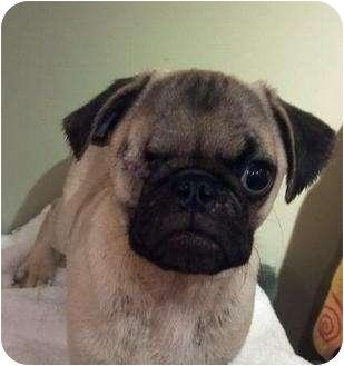 Pug Puppy for adoption in San Pedro, California - Pudge