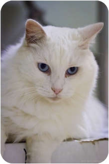 Domestic Longhair Cat for adoption in Bulverde, Texas - Powder