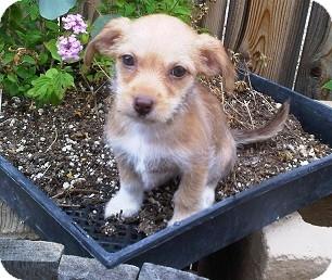 Dachshund Mix Puppy for adoption in Tustin, California - Tum Tum