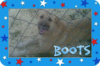 Anatolian Shepherd/Shepherd (Unknown Type) Mix Dog for adoption in Parsippany, New Jersey - Boots