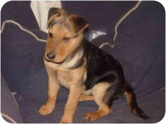 Shar Pei/German Shepherd Dog Mix Puppy for adoption in Alliance, Ohio - Max ~ Shep/SharPei