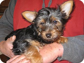 Yorkie, Yorkshire Terrier Puppy for adoption in Greenville, Rhode Island - Harry Potter