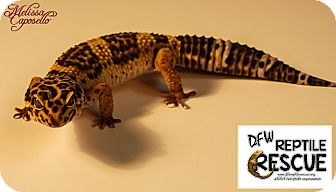 Gecko for adoption in Arlington, Texas - V Vega