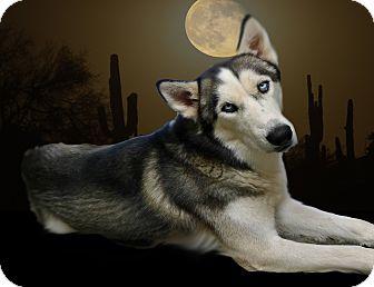 Siberian Husky Dog for adoption in Gilbert, Arizona - Alaska