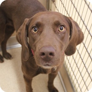 Labrador Retriever Mix Dog for adoption in Naperville, Illinois - Mackenzie