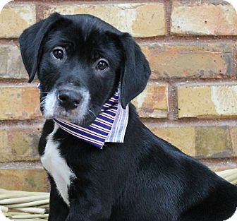 Retriever (Unknown Type) Mix Puppy for adoption in Benbrook, Texas - Fred