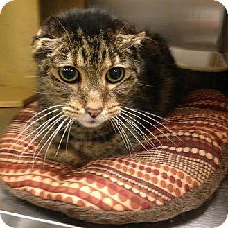 Domestic Shorthair Cat for adoption in Cincinnati, Ohio - Gomer