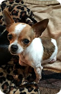 Chihuahua Dog for adoption in Wallingford Area, Connecticut - Chuckie