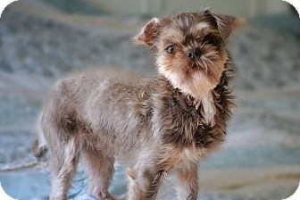 Brussels Griffon Mix Dog for adoption in Southington, Connecticut - Griffin