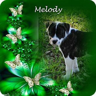 Boxer/Great Pyrenees Mix Puppy for adoption in Crowley, Louisiana - Melody