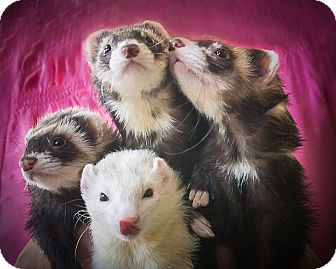 Ferret for adoption in Brandy Station, Virginia - Naomi & Stella & Vin & Penny