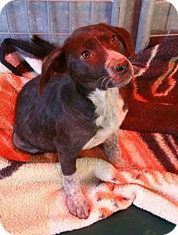 Hound (Unknown Type)/Border Collie Mix Puppy for adoption in Gustine, California - SANDY