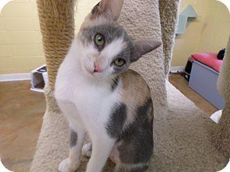 Calico Kitten for adoption in Lake Charles, Louisiana - Lady