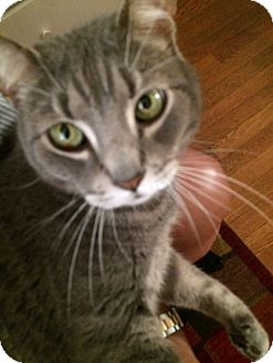 Domestic Shorthair Cat for adoption in Columbia, Maryland - Felix