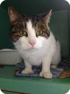 Domestic Shorthair Cat for adoption in Franklin, New Hampshire - Emily