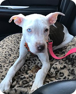 American Staffordshire Terrier Mix Dog for adoption in Detroit, Michigan - Fiona-Adopted!