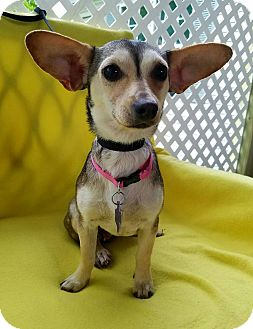 Chihuahua Mix Dog for adoption in Danbury, Connecticut - Bristol