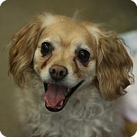 Adopt A Pet :: Maneka - Canoga Park, CA