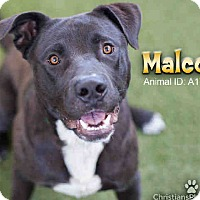 Adopt A Pet :: Malcolm A1703366 @ East Valley - Beverly Hills, CA