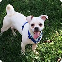 Adopt A Pet :: Porkchop - Doylestown, PA