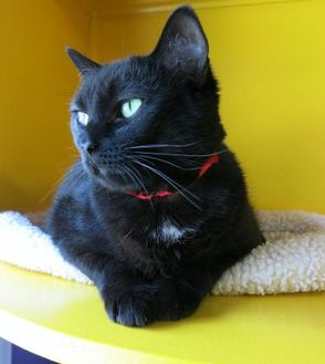 Domestic Shorthair/Domestic Shorthair Mix Cat for adoption in Northbrook, Illinois - Mew