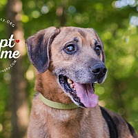 Beagle/Labrador Retriever Mix Dog for adoption in Cincinnati, Ohio - Haas