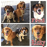 Beagle/Corgi Mix Dog for adoption in Waxhaw, North Carolina - Fred and Ricky