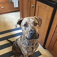 American Pit Bull Terrier/Labrador Retriever Mix Dog for adoption in Tequesta, Florida - Goose