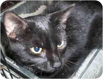 Domestic Shorthair Kitten for adoption in Honesdale, Pennsylvania - Clarence