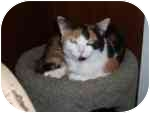 Domestic Shorthair Cat for adoption in North Boston, New York - Shea