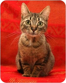 Domestic Shorthair Cat for adoption in Port Hope, Ontario - Patience