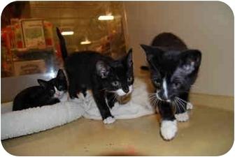 Domestic Shorthair Cat for adoption in Modesto, California - Flynn