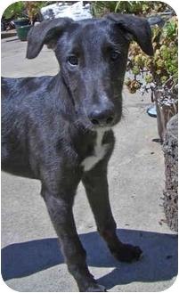 Borzoi/Greyhound Mix Puppy for adoption in Santa Rosa, California - Pepi