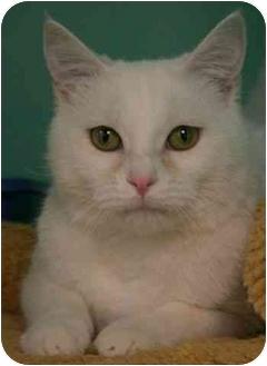 Domestic Shorthair Cat for adoption in Phoenix, Oregon - Mia