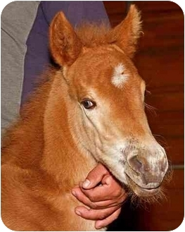 Pony - of America/Other/Unknown Mix for adoption in Sugar Land, Texas - Abbie