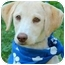 Photo 4 - Labrador Retriever Puppy for adoption in Pawling, New York - MOLLY