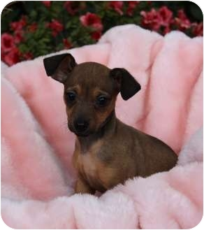 Border Terrier/Terrier (Unknown Type, Small) Mix Puppy for adoption in Newport Beach, California - FIONA