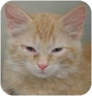 Domestic Shorthair Kitten for adoption in Wheaton, Illinois - Pan