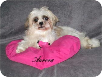 Shih Tzu Dog for adoption in Mount Gretna, Pennsylvania - Aurora